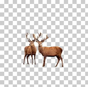 Reindeer Red Deer Elk Moose PNG