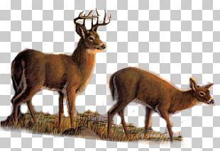 Elk White-tailed Deer Reindeer Roe Deer PNG