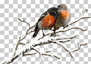 European Robin Bird Finch Beak Feather PNG
