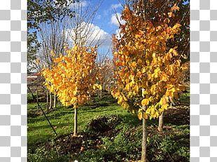 Sugar Maple Tree Acer Nigrum Autumn Shrub PNG