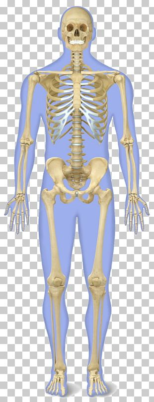 The Human Skeleton Human Body Anatomy PNG
