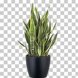 Viper's Bowstring Hemp Sansevieria Zeylanica Devil's Ivy Chinese Evergreens Houseplant PNG