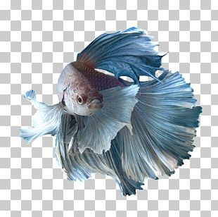 Siamese Fighting Fish Aquarium Breed Goldfish PNG