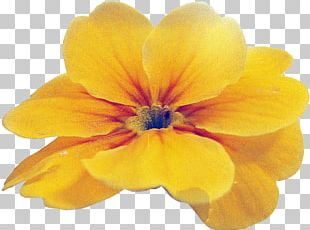 Primrose Wildflower Close-up Violet Family PNG