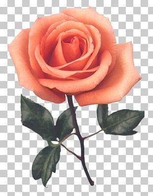 Beach Rose Red Cut Flowers Color PNG