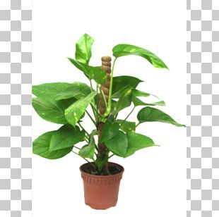 Devil's Ivy Houseplant Money Vine PNG