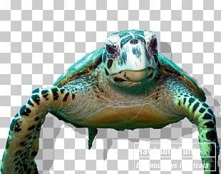 Tortoise Coral Reef Hawksbill Sea Turtle PNG
