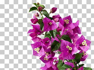 Plants Flower Maranta Leuconeura Garden Bougainvillea PNG