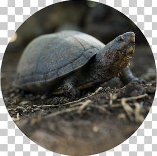 Box Turtles Scorpion Mud Turtle Tortoise Sea Turtle PNG