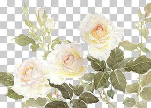 Garden Roses Centifolia Roses Flower White PNG