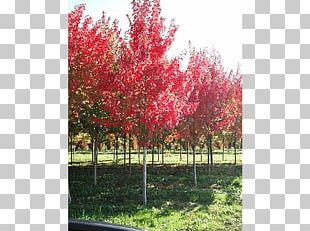 Red Maple Silver Maple Japanese Maple Sugar Maple Acer Freemanii PNG