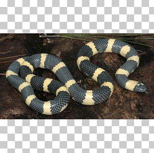 Kingsnakes Hognose Snake Rattlesnake Elapid Snakes PNG