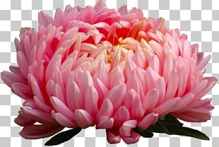Aster Flower Annual Plant Seed Perennial Plant PNG