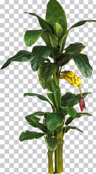 Latundan Banana Tree Plant Leaf PNG