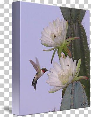 Hummingbird Cactaceae Flower Desert Botanical Garden PNG