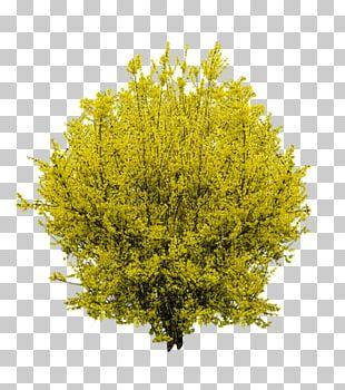 Forsythia Shrub Tree PNG