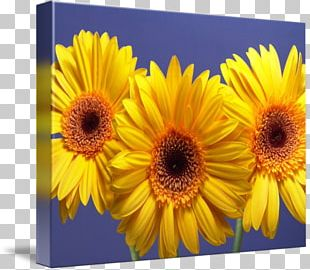 Daisy Family Transvaal Daisy Common Sunflower Yellow Annual Plant PNG
