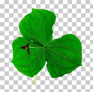 Leaf Herb Clover Plant Pennyroyal PNG
