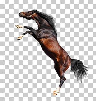 Arabian Horse American Paint Horse Percheron Foal PNG