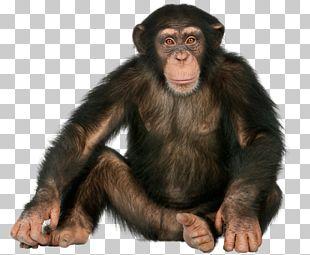 Chimpanzee Gorilla Ape Monkey Orangutan PNG