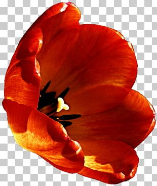Tulip Petal Close-up Violet Family PNG