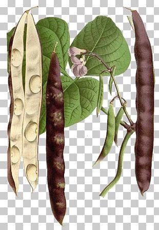 Legume Market Garden Food Crop Pea PNG