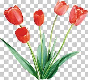 Flower Tulip Color Desktop PNG