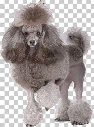 Miniature Poodle Standard Poodle Toy Poodle Maltese Dog PNG