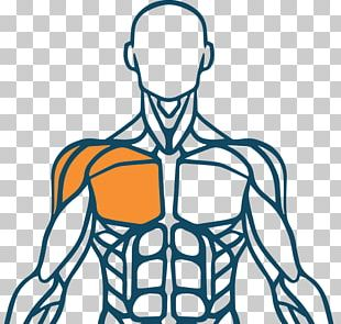 Muscle Human Body Muscular System Finger Human Back PNG