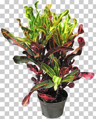 Garden Croton Houseplant Dracaena Fragrans Rushfoil PNG