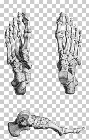 Gray's Anatomy Foot Bone Human Skeleton PNG