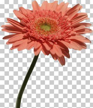 Chrysanthemum Indicum Transvaal Daisy Plant Computer File PNG