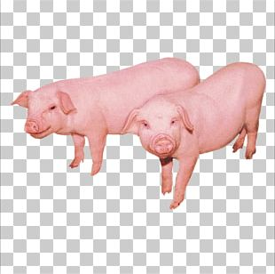 Domestic Pig Cattle Sheep Chicken Duck PNG