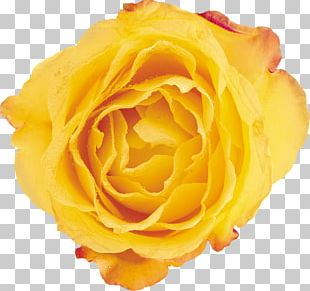 Beach Rose Yellow Flower Petal Garden Roses PNG
