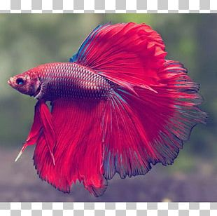 Siamese Fighting Fish Veiltail Aquarium Pet PNG