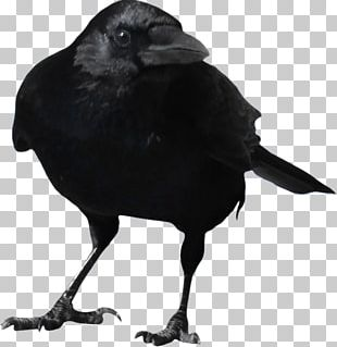 Common Raven PNG