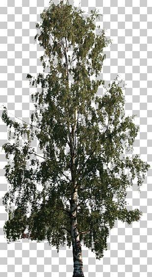 Tree Woody Plant Shrub Nallikari PNG