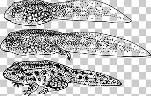 Frog Amphibian Tadpole Toad Gill PNG
