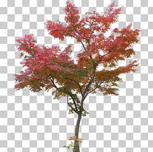 Japanese Maple Tree Maple Leaf PNG