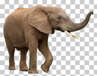 African Bush Elephant Asian Elephant African Forest Elephant PNG