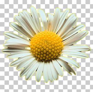 Common Daisy Oxeye Daisy Shasta Daisy PNG