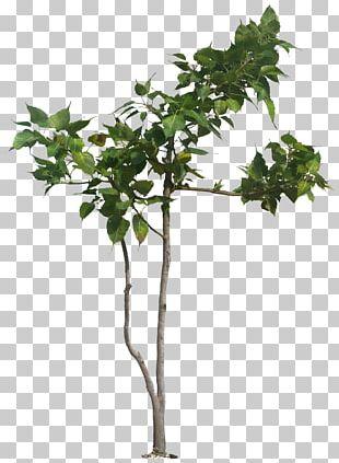 Populus Nigra Tree Banyan Ficus Religiosa Plant PNG