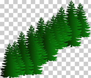 Evergreen Tree Pine PNG