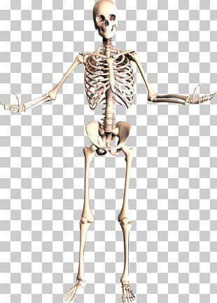 The Skeletal System Human Skeleton Human Body Anatomy PNG