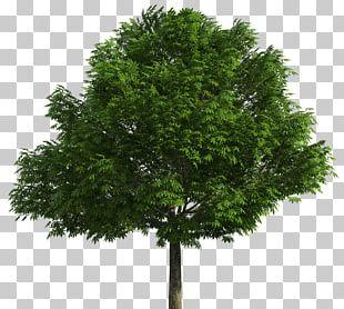 Australian Native Trees Drawing PNG