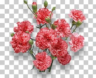 Carnation Flower Stock Photography PNG