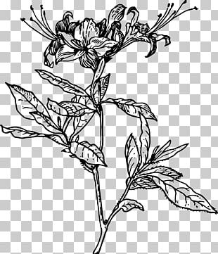 Azalea Drawing Rhododendron Botanical Illustration PNG