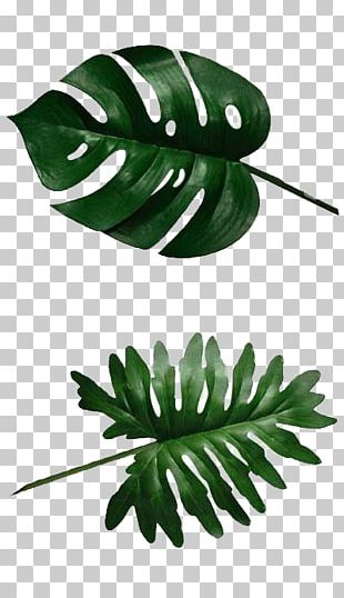 Swiss Cheese Plant Banana Leaf Philodendron PNG