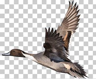 Duck Goose Bird Feather Beak PNG