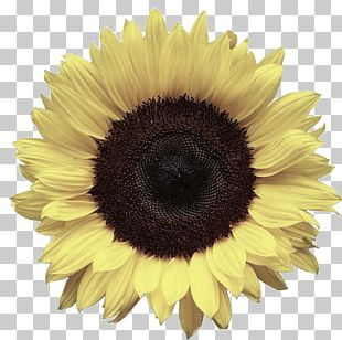 Portable Network Graphics Common Sunflower Desktop PNG